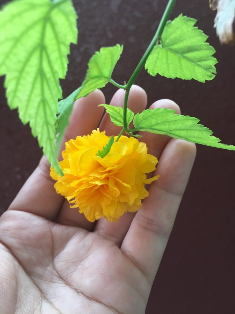 去年咲いたやまぶきの花